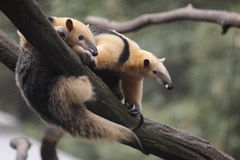 Collared anteater. The couple of collared anteaters on the branch Royalty Free Stock Image