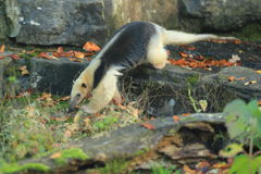 Collared anteater Royalty Free Stock Images