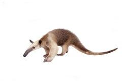 Collared Anteater, Tamandua tetradactyla on white Stock Photography
