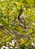 Collared Antshrike Stock Photography