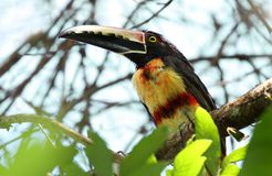Collared Araçari Pteroglossus torquatus. Collared araçari Pteroglossus torquatus perched on a tree branch high in the canopy Stock Images