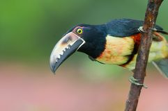 Collared Aracari Stock Photo