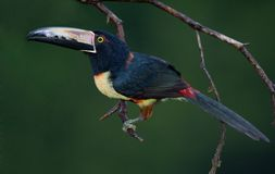 Collared Aracari. A Toucan from Central America Royalty Free Stock Image