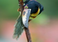 Collared Aracari. A Toucan from Central America Royalty Free Stock Photos