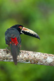Collared Aracari. (Pteroglossus torquatus) shot in Panama Royalty Free Stock Photography