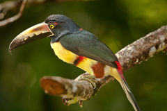 Collared Aracari Stock Photography