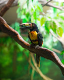 Collared Aracari Agarrado Pteroglossus torquatus toucan. Bird Royalty Free Stock Photography