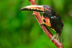 Collared Aracari, Costa Rica Royalty Free Stock Photography