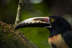 Collared Aracari, La Fortuna, Costa Rica Royalty Free Stock Images