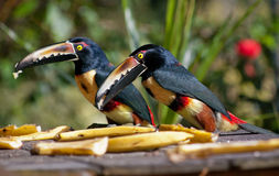 Collared Aracari eating bananas. Two collared aracari (a kind of toucans) eating bananas in Costa Rica Stock Photography