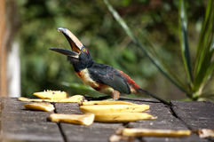 Collared Aracari eating bananas. One collared aracari (a kind of toucans) sticking out his tongue while eating bananas in Costa Rica Stock Image