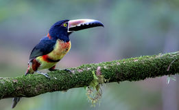 Collared Aracari in the jungle of Costa Rica Stock Image
