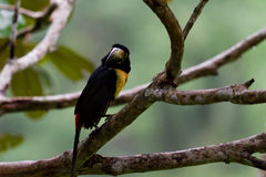 Collared Aracari. Perched on a branch in the rain forest of Belize Stock Photo