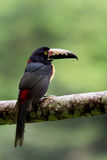 Collared Aracari Stock Photos