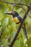 Collared Aracari - Pteroglossus torquatus. Beautiful colorful toucan from Costa Rica forest Stock Photo