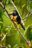 Collared Aracari, Pteroglossus torquatus, bird with big bill. To. Ucan sitting on the nice branch. Wildlife animal from Costa Rica Royalty Free Stock Photography