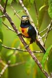 Collared Aracari, Pteroglossus torquatus, bird with big bill. To. Ucan sitting on the nice branch. Wildlife animal from Costa Rica Stock Image