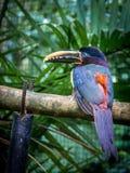 Collared Aracari Pteroglossus torquatus - Toucan like bird Stock Photo