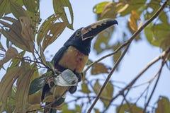 Collared Aracari in the rain forest Stock Image