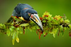 Free Collared Aracari, Small Toucan Pteroglossus Torquatus, Bird With Big Bill. Toucan Sitting On The Branch In The Forest, Boca Tapada Royalty Free Stock Image - 202894726
