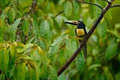 Collared Aracari, torquatus Pteroglossus, птица с большим счетом Toucan сидя на славной ветви в лесе, Boca Tapada, Коста Стоковая Фотография RF