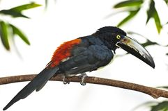 Collared Aracari toucan. Bird perched on branch Royalty Free Stock Image