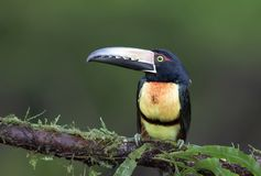 A Collared Aracari Toucan Pteroglossus perched on a mossy branch in the rainforests of Costa Rica royalty free stock image
