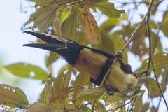 Collared Aracari in the trees Stock Image