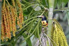 Collared Aracari in the wild. Near La Fortuna, Costa Rica Royalty Free Stock Photography