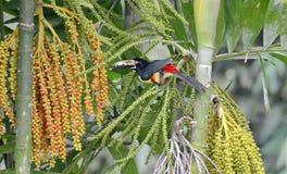 Collared Aracari in the wild. Near La Fortuna, Costa Rica Royalty Free Stock Images