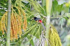 Collared Aracari in the wild. Near La Fortuna, Costa Rica Royalty Free Stock Photos
