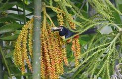 Collared Aracari in the wild. Near La Fortuna, Costa Rica Royalty Free Stock Image