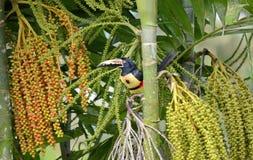 Collared Aracari in the wild. Near La Fortuna, Costa Rica Stock Image