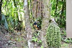 Collared Aracari in the wild. Near La Fortuna, Costa Rica Stock Photos