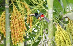 Collared Aracari in the wild. Near La Fortuna, Costa Rica Stock Images
