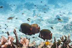 Collared butterflyfish at Similan island Stock Photography