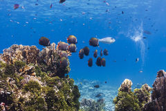 Collared butterflyfish at Similan island Stock Images