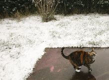 Collared Cat Looking Up in the Snow. Calico cat standing on some concrete in the backyard, with snow covered grass royalty free stock photo