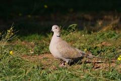 Collared dove на том основании/decaoct Streptopelia стоковое фото