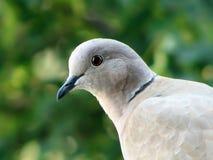 collared dove стоковая фотография rf