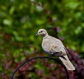 collared dove Стоковые Изображения