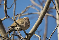 Collared Dove. Is resting a branch of a tree Royalty Free Stock Photos