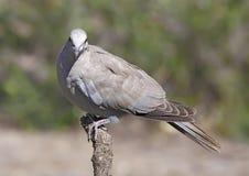 Collared Dove стоковое изображение rf