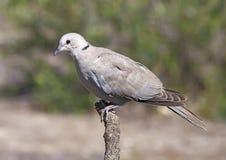 Collared Dove стоковая фотография