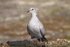 Collared Dove стоковое фото