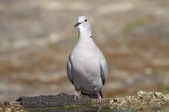 Collared Dove стоковые фотографии rf