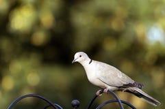 Collared Dove Стоковое фото RF
