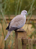 Collared Dove. Perched on a garden fence post Royalty Free Stock Image