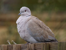 Collared Dove. On a garden fence Royalty Free Stock Photography