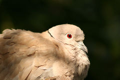 Collared Dove. Roosting in an avairy, fluffed up feathers and beady eye royalty free stock photos